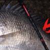 黑鲷专用竿 DAIWA SILVER WOLF MX